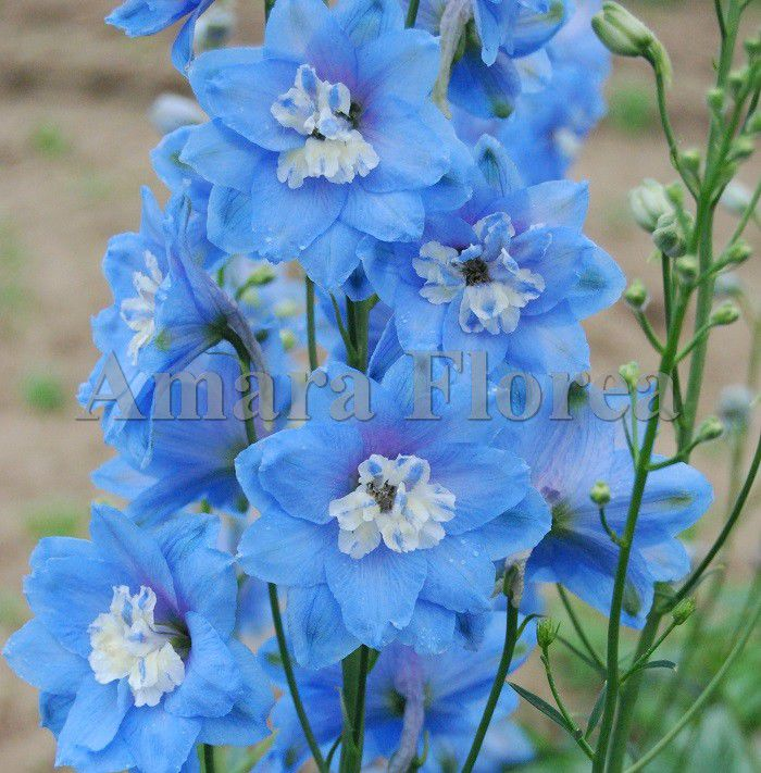 http://plugin.myshop.com/images/shop4870700.pictures.Delphinium_Sky_Blue.jpg