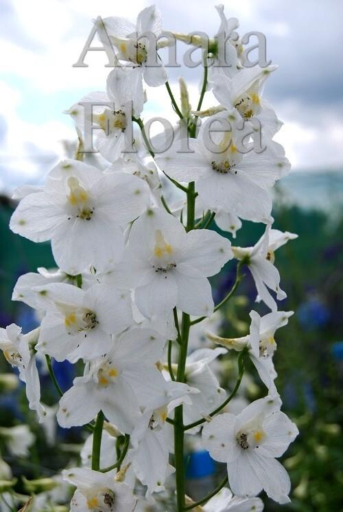 http://plugin.myshop.com/images/shop4870700.pictures.Delphinium_belladonna_Moerheimi.jpg
