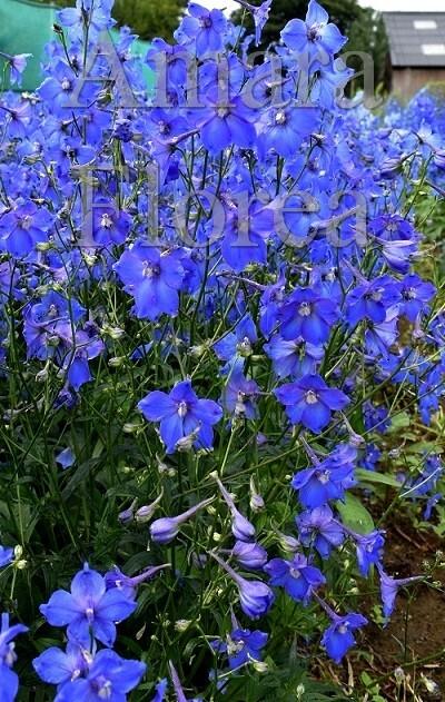 http://plugin.myshop.com/images/shop4870700.pictures.Delphinium_belladonna_Piccolo.jpg