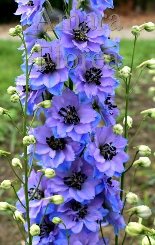 http://plugin.myshop.com/images/shop4870700.pictures.Delphinium_elatum_Blue_Dawn.jpg