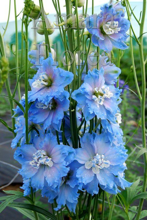 http://plugin.myshop.com/images/shop4870700.pictures.Delphinium_elatum_Blue_Lagoon.jpg