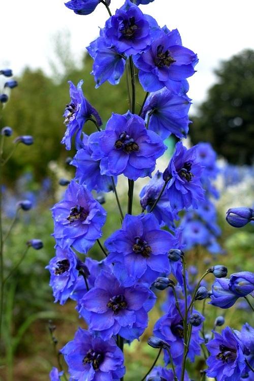 http://plugin.myshop.com/images/shop4870700.pictures.Delphinium_elatum_Blue_Tit.JPG