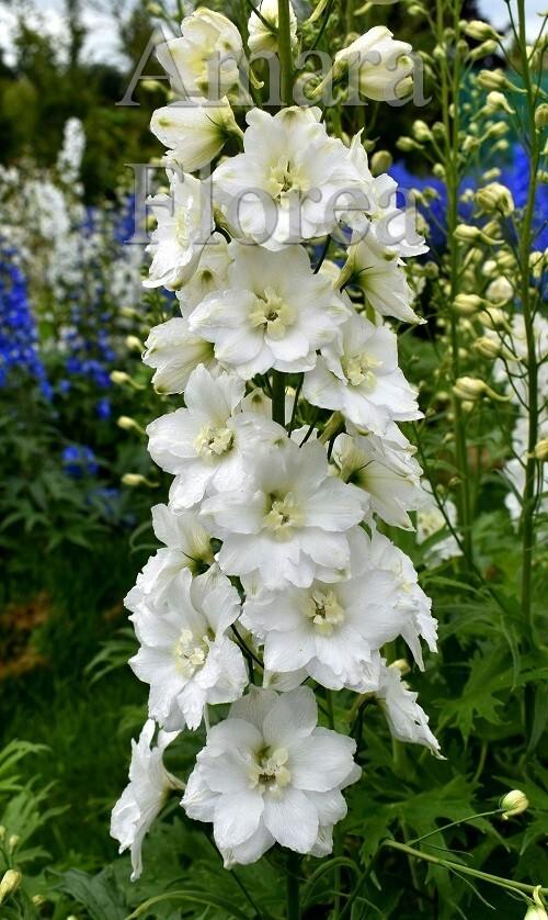 http://plugin.myshop.com/images/shop4870700.pictures.Delphinium_elatum_Elisabeth_Cook.jpg