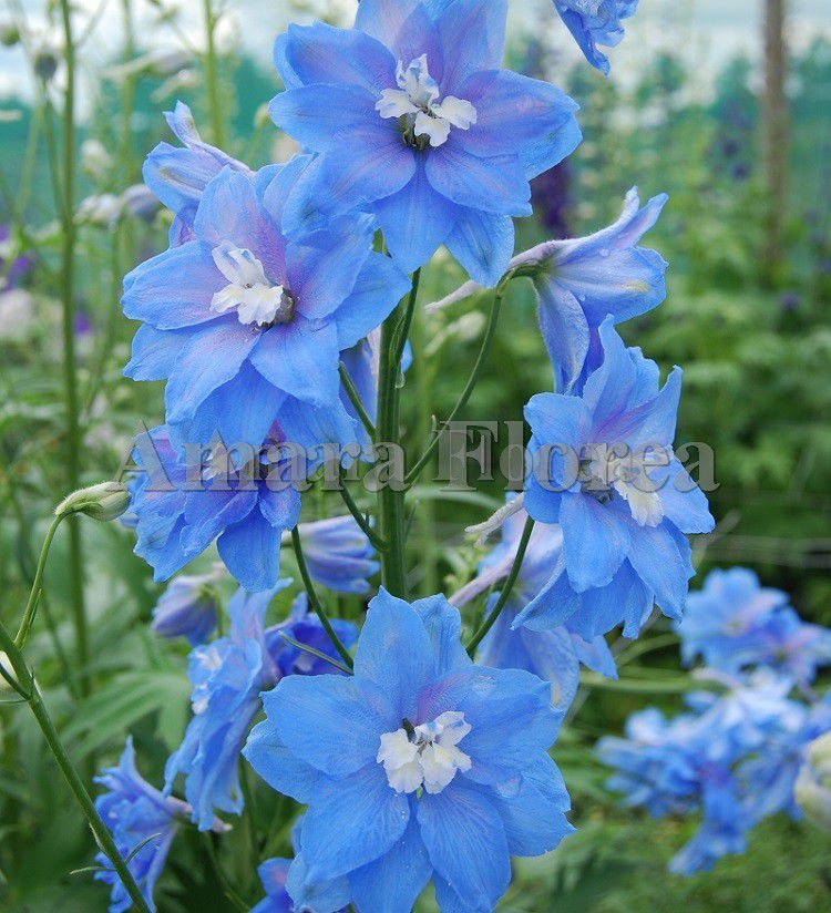 http://plugin.myshop.com/images/shop4870700.pictures.Delphinium_elatum_Lord_Butler.jpg