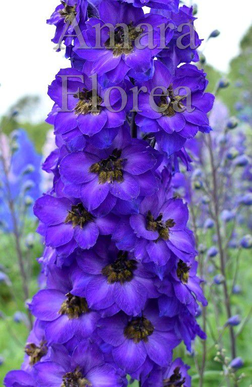 http://plugin.myshop.com/images/shop4870700.pictures.Delphinium_elatum_Purple_Velvet.jpg