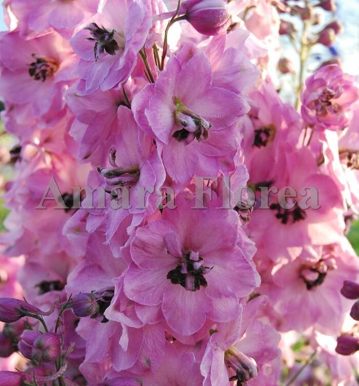 http://plugin.myshop.com/images/shop4870700.pictures.Delphinium_elatum_Rosemary_Brok.jpg