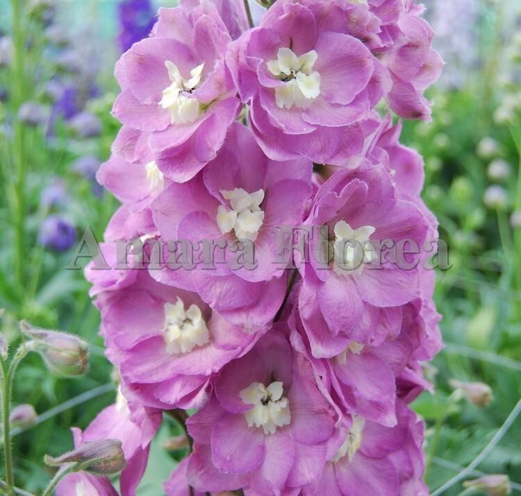 http://plugin.myshop.com/images/shop4870700.pictures.Delphinium_elatum_Summer_Wine.jpg