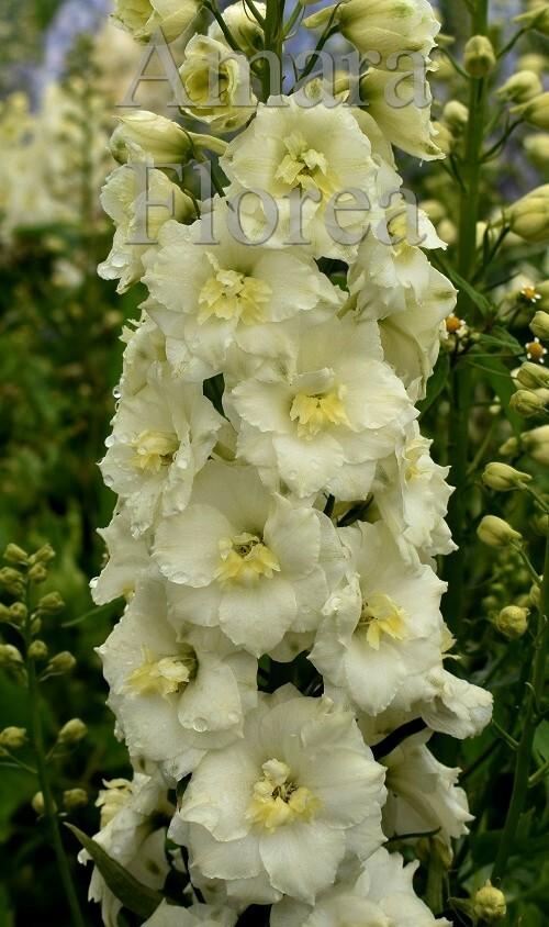 http://plugin.myshop.com/images/shop4870700.pictures.Delphinium_elatum_Sunkissed.jpg