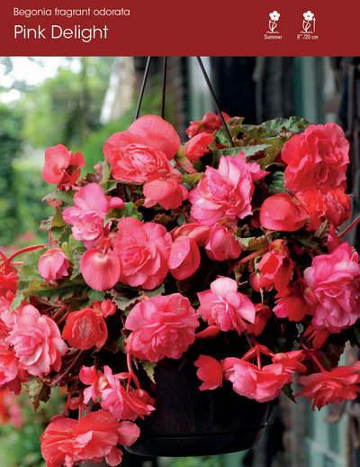 Odorata Pink Delight