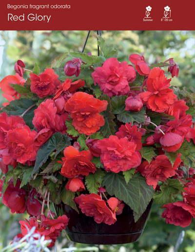 Odorata Red Glory