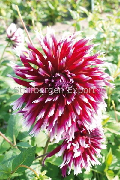 http://plugin.myshop.com/images/shop5058400.pictures.67200501-Dahlia_cactus_Alauna_Clair_Obscur_11_IMG_2037.JPG