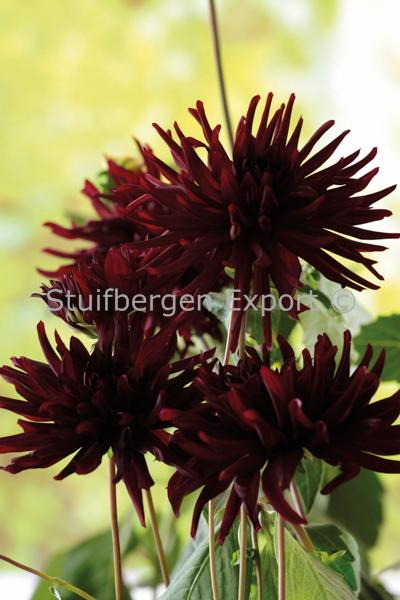 http://plugin.myshop.com/images/shop5058400.pictures.67201101-Dahlia_cactus_Nuit_dEte_MG_7796.JPG