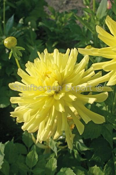 http://plugin.myshop.com/images/shop5058400.pictures.67202301-Dahlia_cactus_Yellow_Happiness_9_IMG_1604.JPG