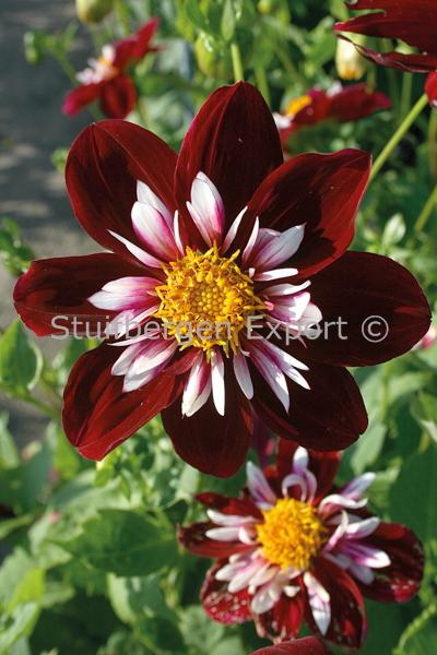 http://plugin.myshop.com/images/shop5058400.pictures.67202601-Dahlia_colorette_Night_Butterfly_3_IMG_1782.JPG