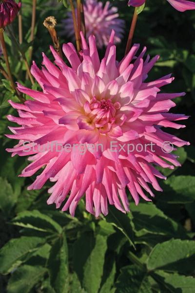 http://plugin.myshop.com/images/shop5058400.pictures.67202901-Dahlia_decorative_Ace_Summer_Emotions_9_IMG_1568.JPG