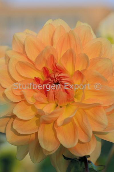 http://plugin.myshop.com/images/shop5058400.pictures.67203201-Dahlia_decorative_Ace_Summer_Sunset.JPG