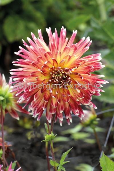 http://plugin.myshop.com/images/shop5058400.pictures.67203501-Dahlia_decorative_Akita_MG_0868.JPG