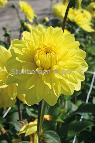 http://plugin.myshop.com/images/shop5058400.pictures.67203801-Dahlia_decorative_American_Sun_5_IMG_2288.JPG
