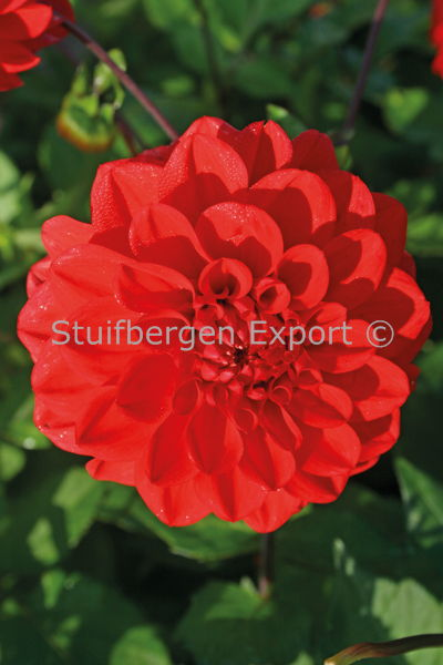 http://plugin.myshop.com/images/shop5058400.pictures.67204401-Dahlia_decorative_Arnhem_5_IMG_1666.JPG