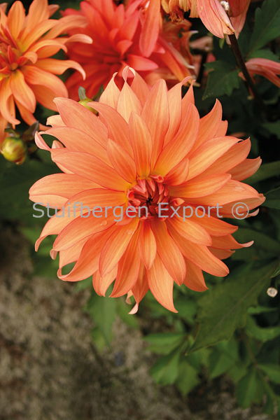http://plugin.myshop.com/images/shop5058400.pictures.67204701-Dahlia_decorative_Autumn_Fairy_5_IMG_6527.JPG