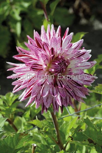 http://plugin.myshop.com/images/shop5058400.pictures.67205001-Dahlia_decorative_Avignon_MG_0871.JPG