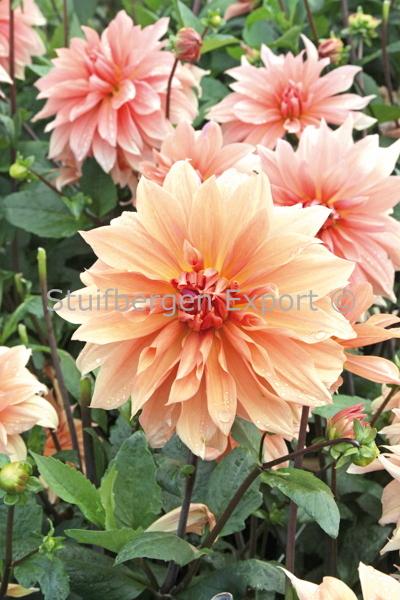 http://plugin.myshop.com/images/shop5058400.pictures.67205301-Dahlia_decorative_Babylon_Brons_IMG_7261.JPG