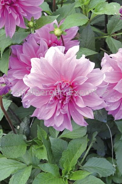 http://plugin.myshop.com/images/shop5058400.pictures.67205901-Dahlia_decorative_Babylon_purple_IMG_7245.JPG