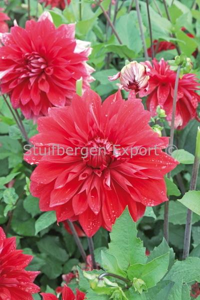 http://plugin.myshop.com/images/shop5058400.pictures.67206201-Dahlia_decorative_Babylon_red_IMG_7270.JPG