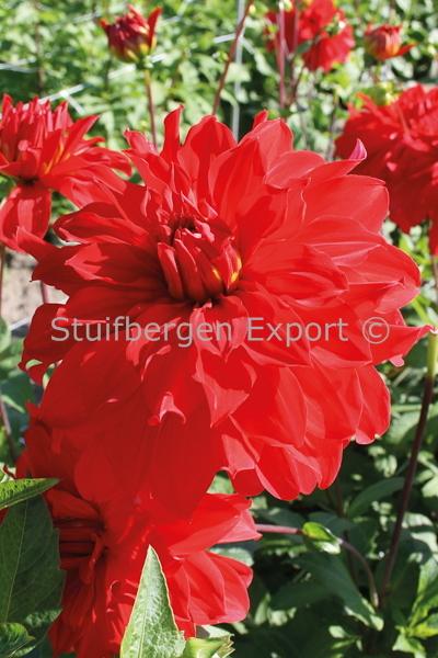 http://plugin.myshop.com/images/shop5058400.pictures.67206501-Dahlia_decorative_Barbarossa_5_IMG_2201.JPG