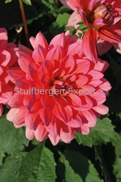 http://plugin.myshop.com/images/shop5058400.pictures.67206801-Dahlia_decorative_Berliner_Kleene_5_IMG_1713.JPG