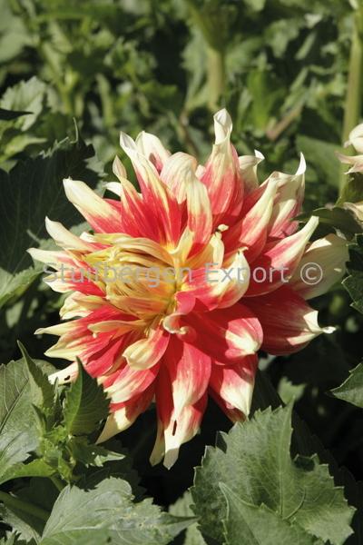 http://plugin.myshop.com/images/shop5058400.pictures.67207401-Dahlia_decorative_Bodacious_IMG_9895.JPG