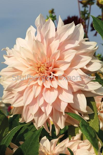 http://plugin.myshop.com/images/shop5058400.pictures.67208001-Dahlia_decorative_Cafe_Au_Lait_peet123.JPG