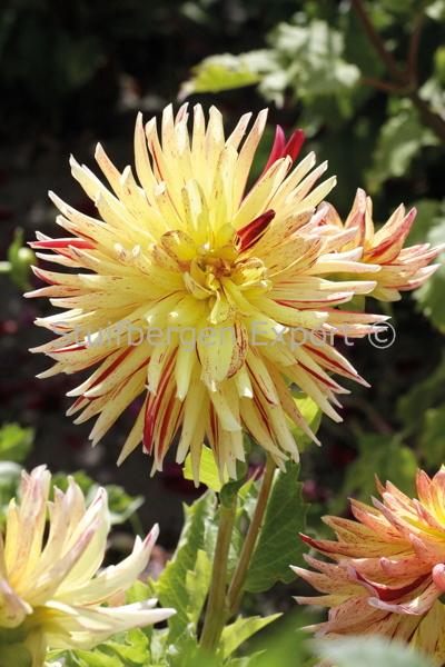 http://plugin.myshop.com/images/shop5058400.pictures.67208301-Dahlia_decorative_Cambridge_MG_0882.JPG