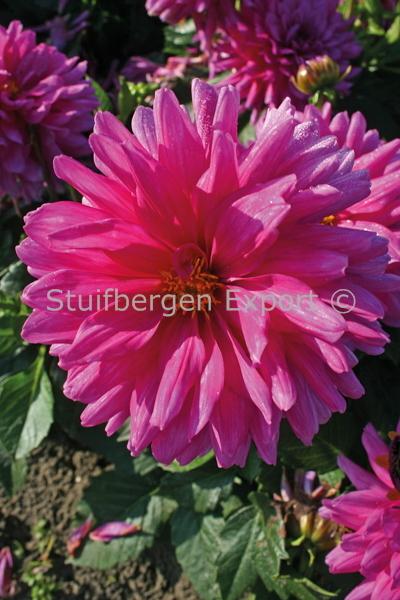 http://plugin.myshop.com/images/shop5058400.pictures.67208901-Dahlia_decorative_Claudette_5_IMG_1673.JPG
