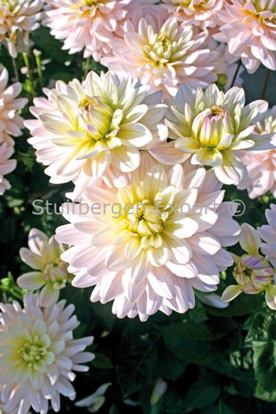 http://plugin.myshop.com/images/shop5058400.pictures.67209101-Dahlia_Dianas_Memory_5_IMG_1759.JPG