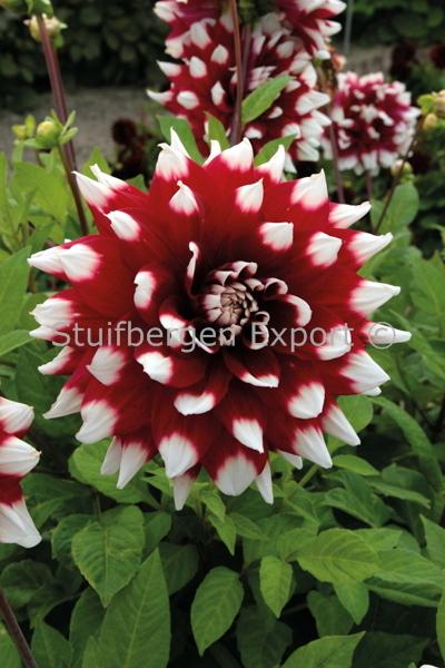 http://plugin.myshop.com/images/shop5058400.pictures.67209201-Dahlia_decorative_Duet_IMG_9957.JPG