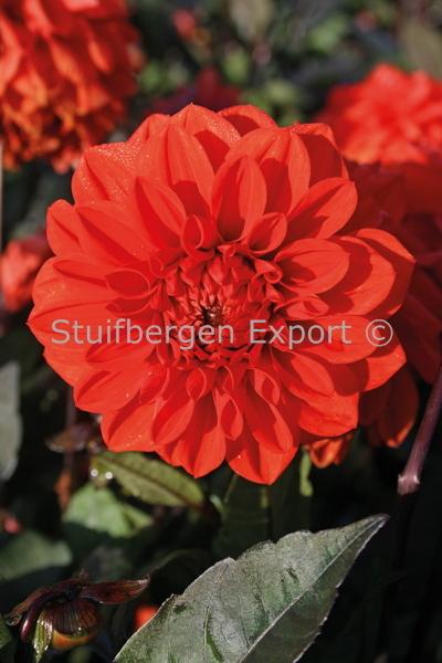 http://plugin.myshop.com/images/shop5058400.pictures.67209501-Dahlia_decorative_Ellen_Houston_5_IMG_1708.JPG