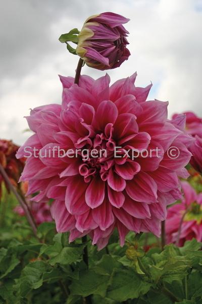 http://plugin.myshop.com/images/shop5058400.pictures.67209801-Dahlia_decorative_Emory_Paul_5_IMG_6695.JPG