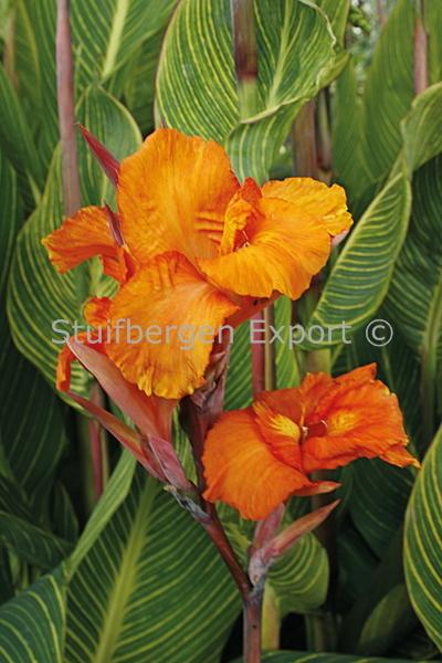 http://plugin.myshop.com/images/shop5058400.pictures.67533902-Canna_Pretoria_MG_9433_Madeira.JPG