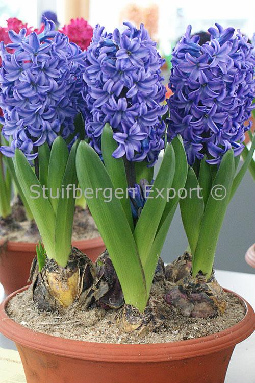 http://plugin.myshop.com/images/shop5058400.pictures.DW_delft_blue_Prep1.JPG