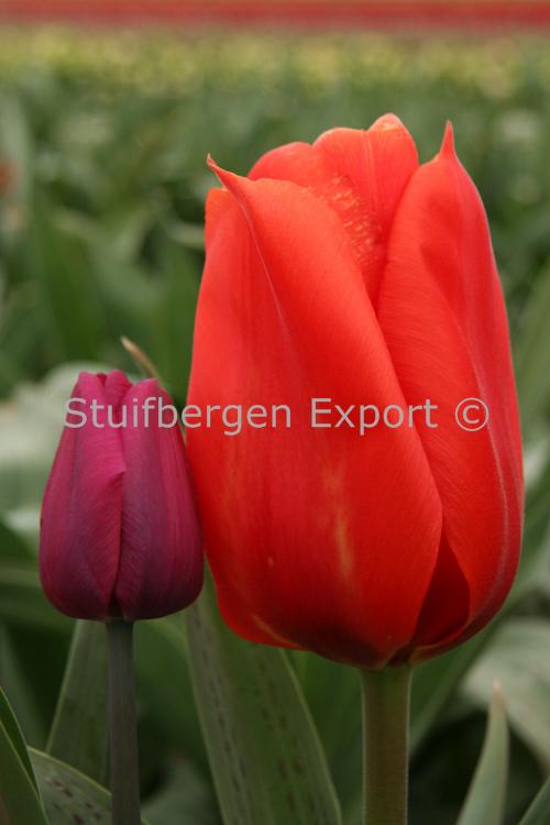 http://plugin.myshop.com/images/shop5058400.pictures.SBE_Grei_Giant_Orange_Sunset.JPG