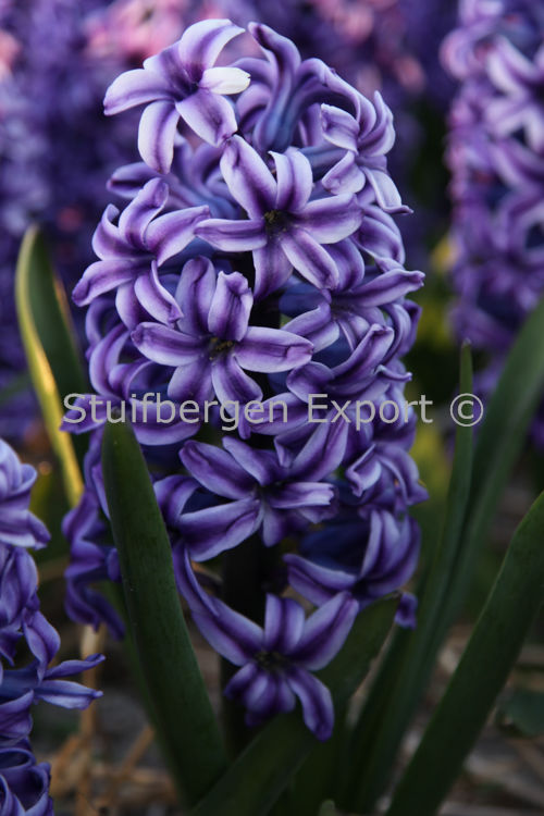 http://plugin.myshop.com/images/shop5058400.pictures.SBE_H_Blue_Jacket.JPG