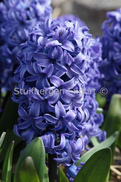 http://plugin.myshop.com/images/shop5058400.pictures.SBE_H_Delft_Blue.JPG