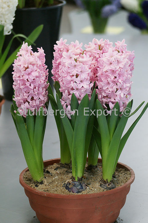 http://plugin.myshop.com/images/shop5058400.pictures.SBE_H_Pink_Pearl_Prep.JPG