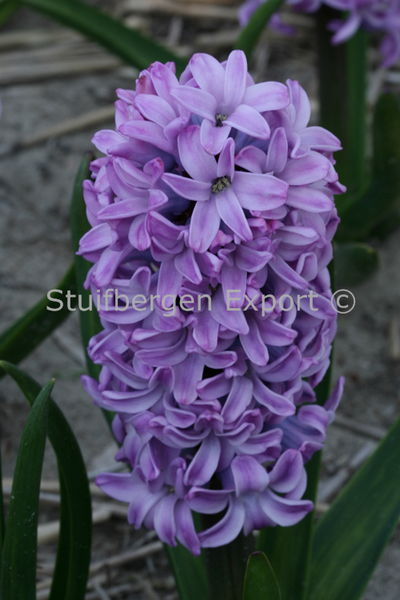 http://plugin.myshop.com/images/shop5058400.pictures.SBE_H_Splendid_Cornelia.JPG